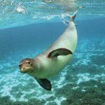 La foca monaca torna in Sardegna? Avvistata a Porto Corallo, sul litorale di Villaputzu!
