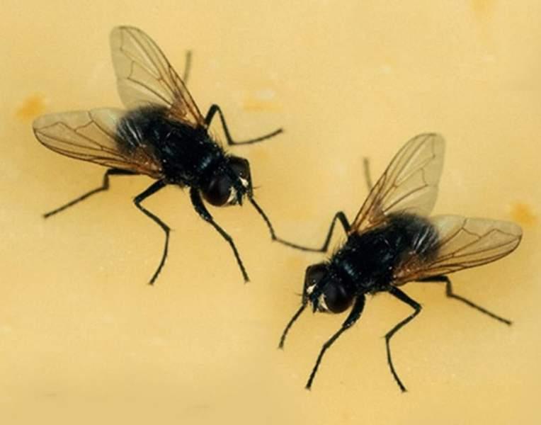 mosche comuni