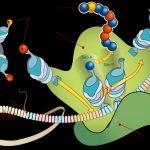 Sintesi proteica: la sua funzione nel corpo umano e perché è importante