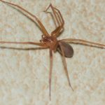 Disinfestazione del ragno violino: come fare?