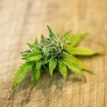 I segreti della cannabis, utile come rimedio naturale