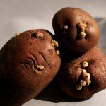 Le patate germogliate si possono mangiare? Vediamolo insieme