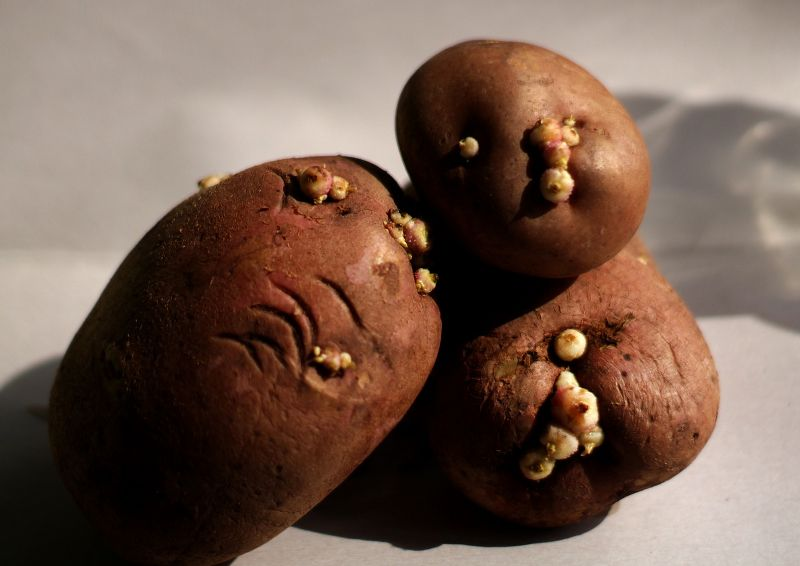 patate germogliate si possono mangiare